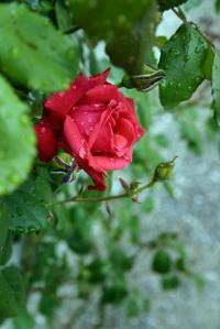 roseflipped